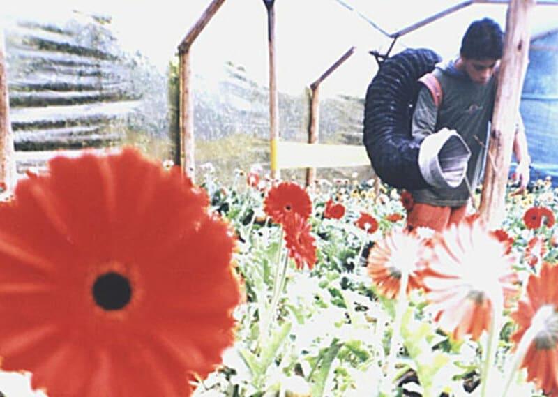 Control de Plagas en cultivos de flores(Gerberas).