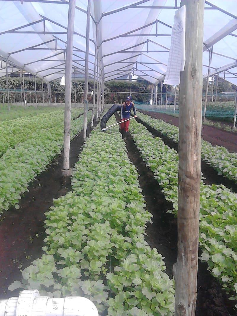 Una forma diferente de control de plagas sin pesticidas en Ammi Majus.