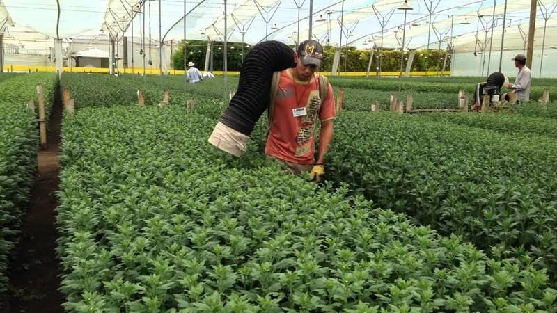 Control de plagas en cultivo flores (crisantemo)