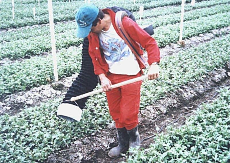 Control de plagas en cultivo crisantemo (primeras semanas).
