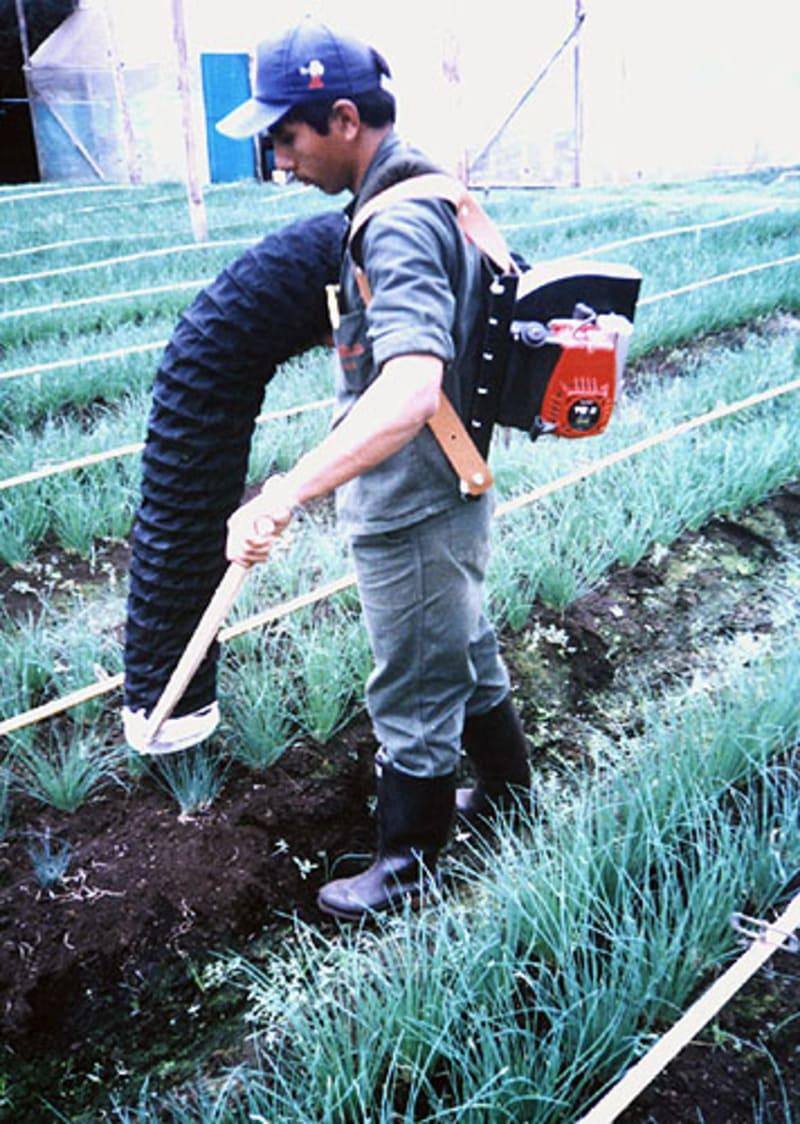 Aspiradora a gasolina para mosca blanca en cultivo de aromáticas (cebollín), cultivo bajo invernadero.