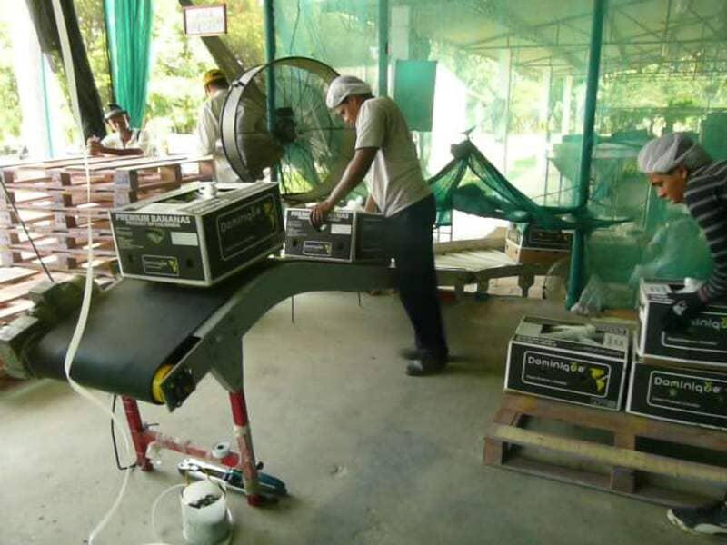 Transportador de cajas con banano – área de paletizado.
