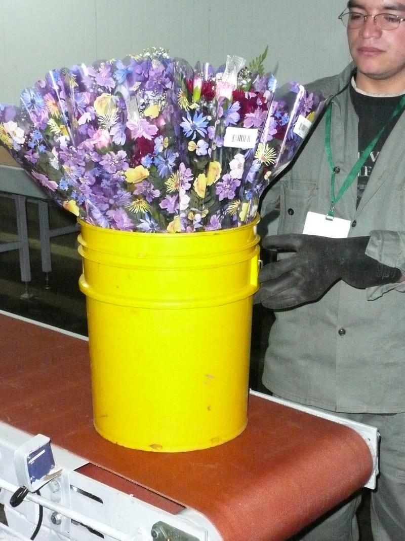 Inspección y control de calidad de la flor a cuarto frío.