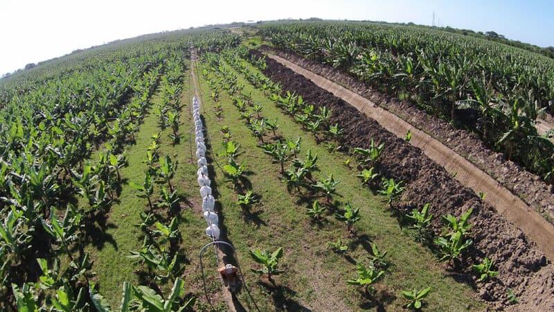 Sistema cable vía banano-plátano a lo largo de los surcos de siembra.