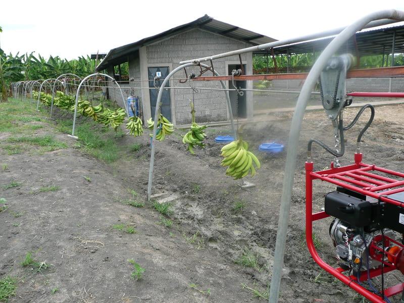 Halado con tractor de racimos de plátano a empacadora