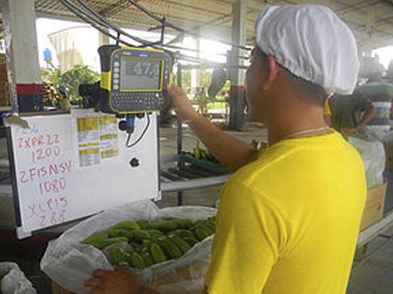 Sistema de pesaje en patio de frutas, bandejas, cajas y paletizado.