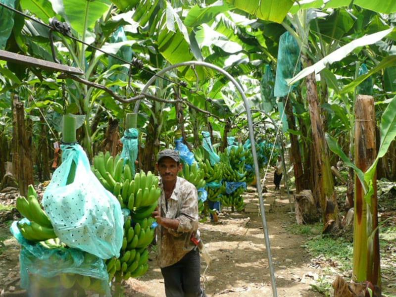 Trasporte de racimos de banano, halado manualmente (600Kg – 700Kg).