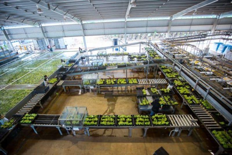 Equipos de transporte bandejas, empaque, pesaje y de proceso de cajas palatalizado.