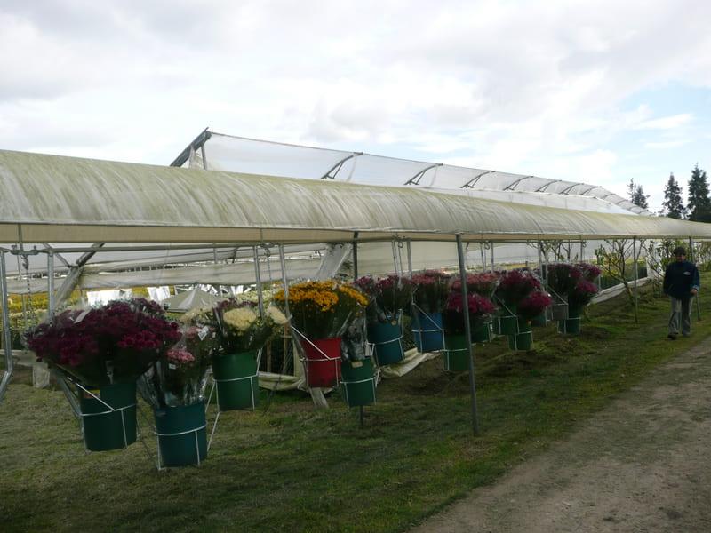 Transporte de crisantemos en carros con Valdés desde cultivos a post-cosecha.