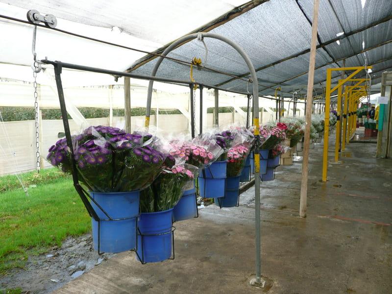 Entrada post cosecha de tren con flores - crisantemos