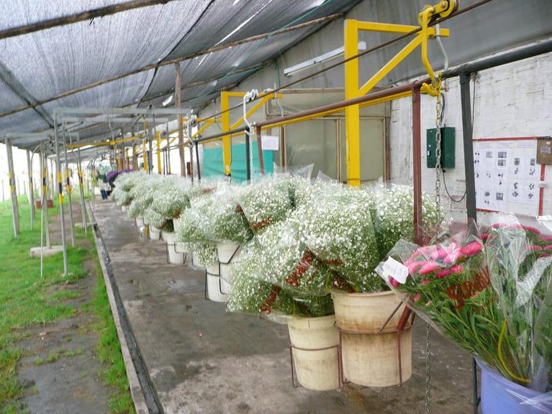 Carros con flor entrada a pos cosecha - ghilpsofila