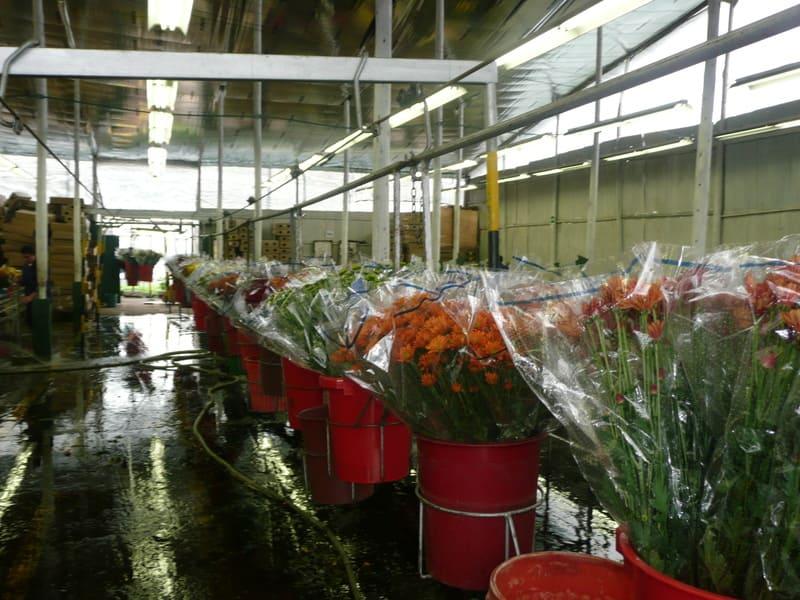 Cargue hasta post cosecha de flor en Valdés – Pompones.