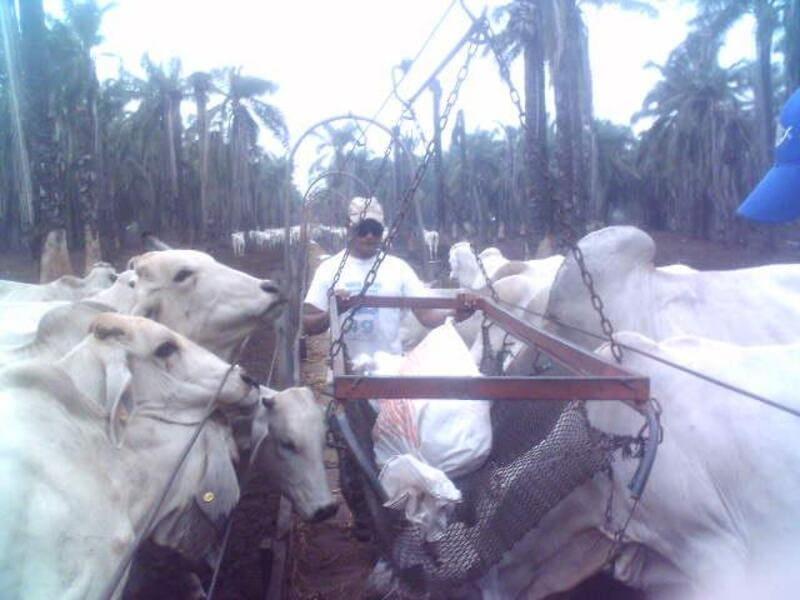 Distribución en camillas de alimento, mediante cable vía central a comederos en ceba intensiva.