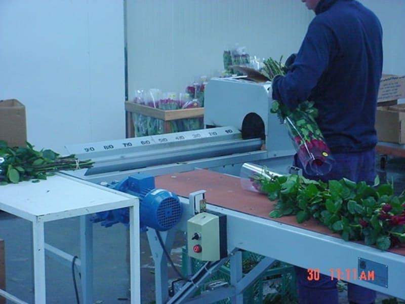 Guillotina en paralelo a transportador de banda (8000 – 10.000 ramos/día).