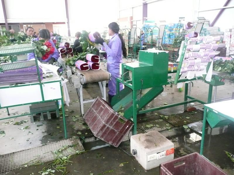 Guillotina en post cosecha de rosa.