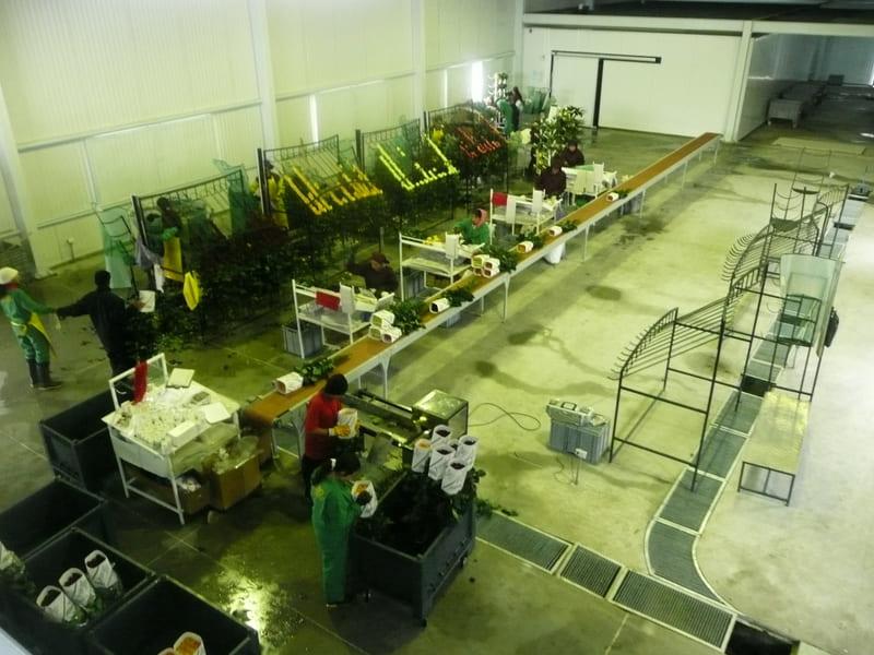 Sala de pos cosecha en cultivo de 15 hectáreas.