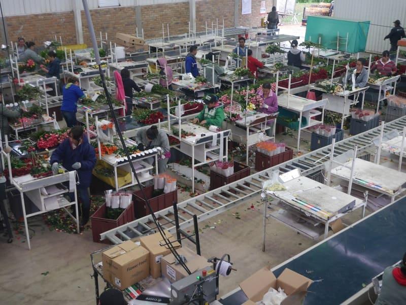 Transporte interno en salas de post cosecha con transportadores de banda.