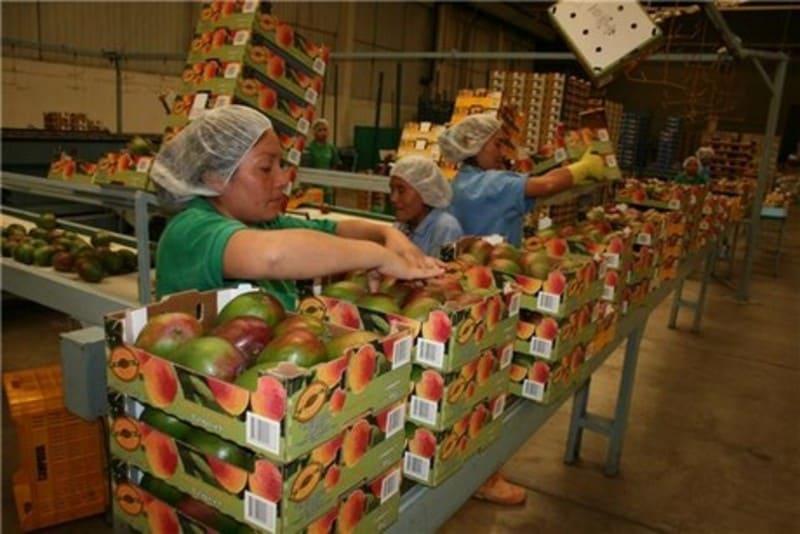Transportadores de Banda en empacadoras de frutas.
