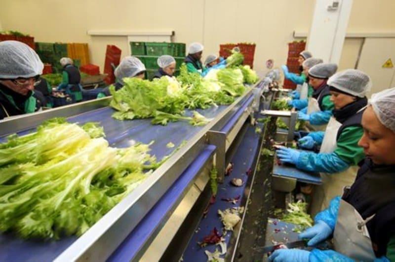 Procesos de clasificación, transporte de hortalizas.