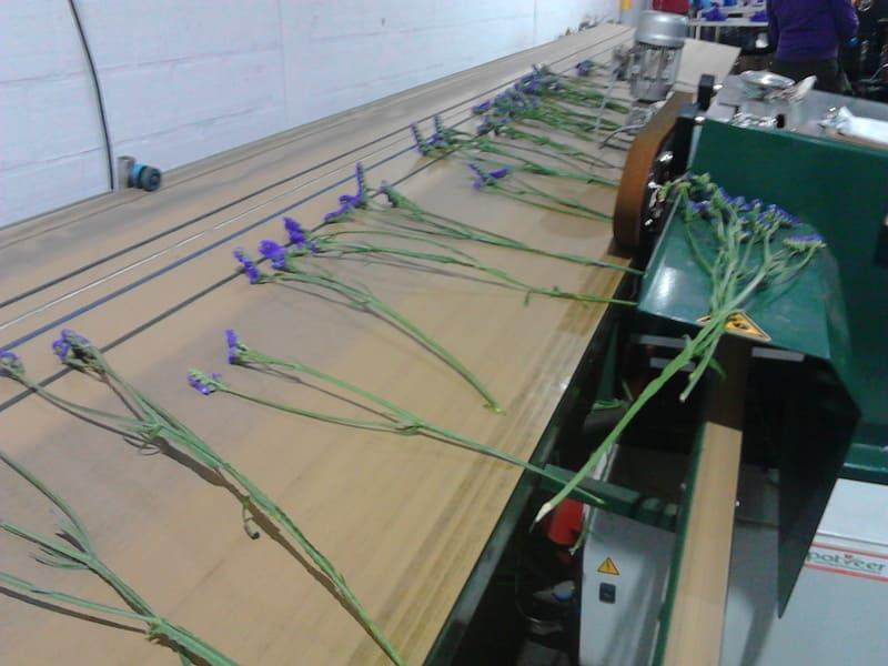 Banda integral para tallos – varas de flores (corte, desfoliado, conteo de tallos y atado de ramos).