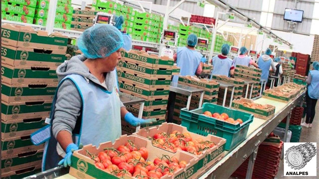 Empacadoras de tomates - Transportadores varios.